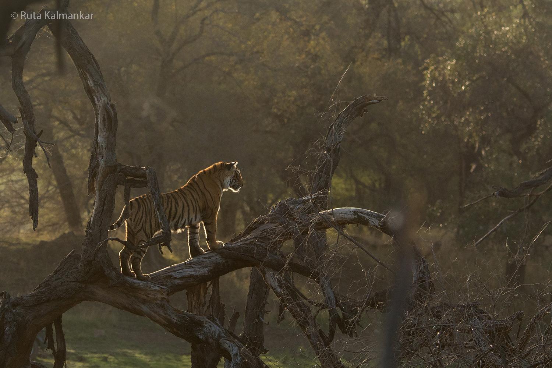 Backlit Tiger Cub