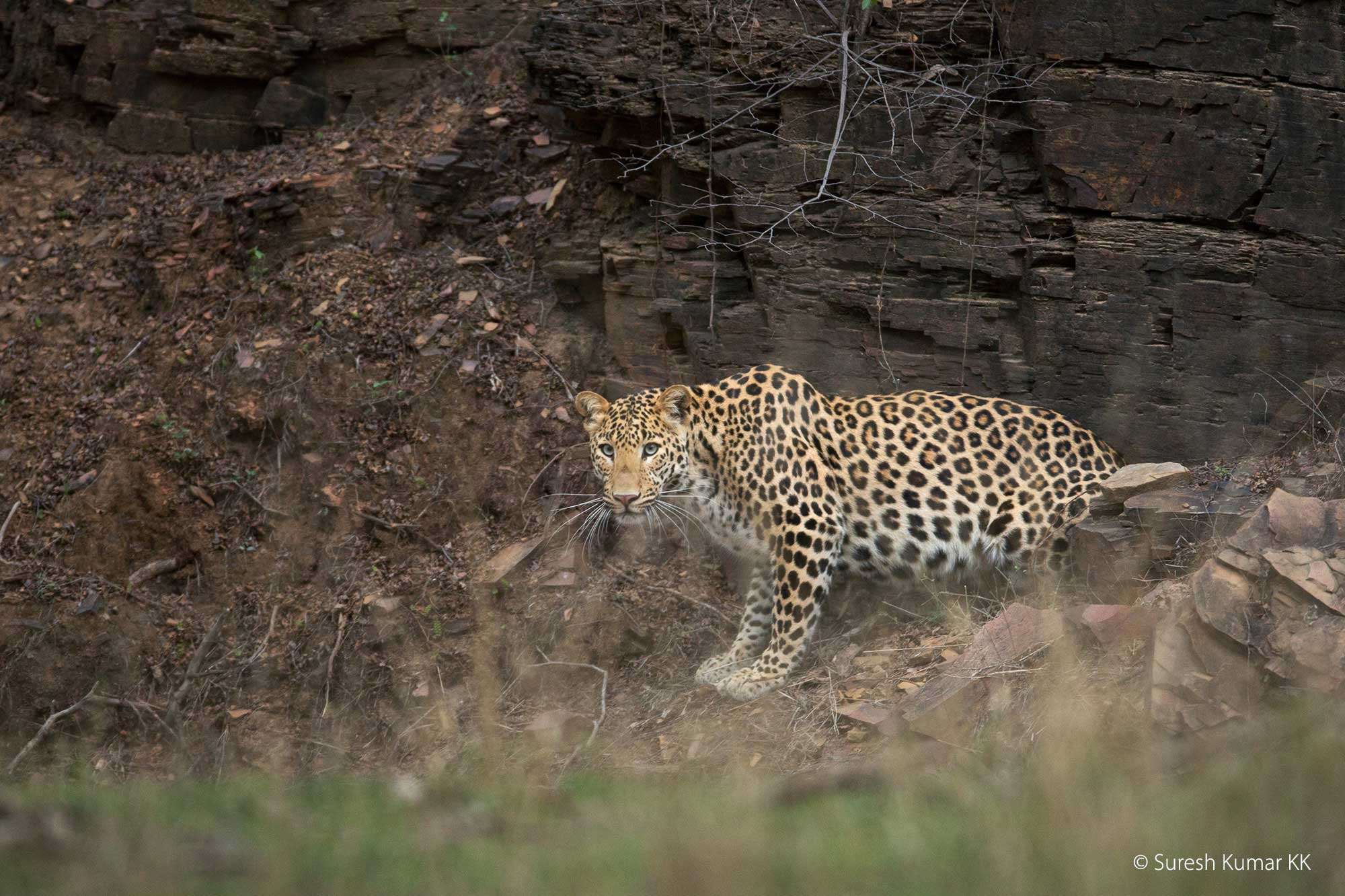 Leopard, Ranthambhore