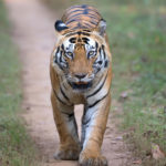 Munna, the tiger at Kanha