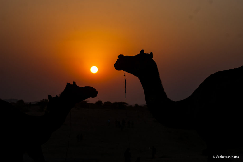 Camels and Sun