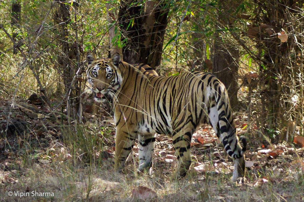 Sukhi Pateeha Female Cub