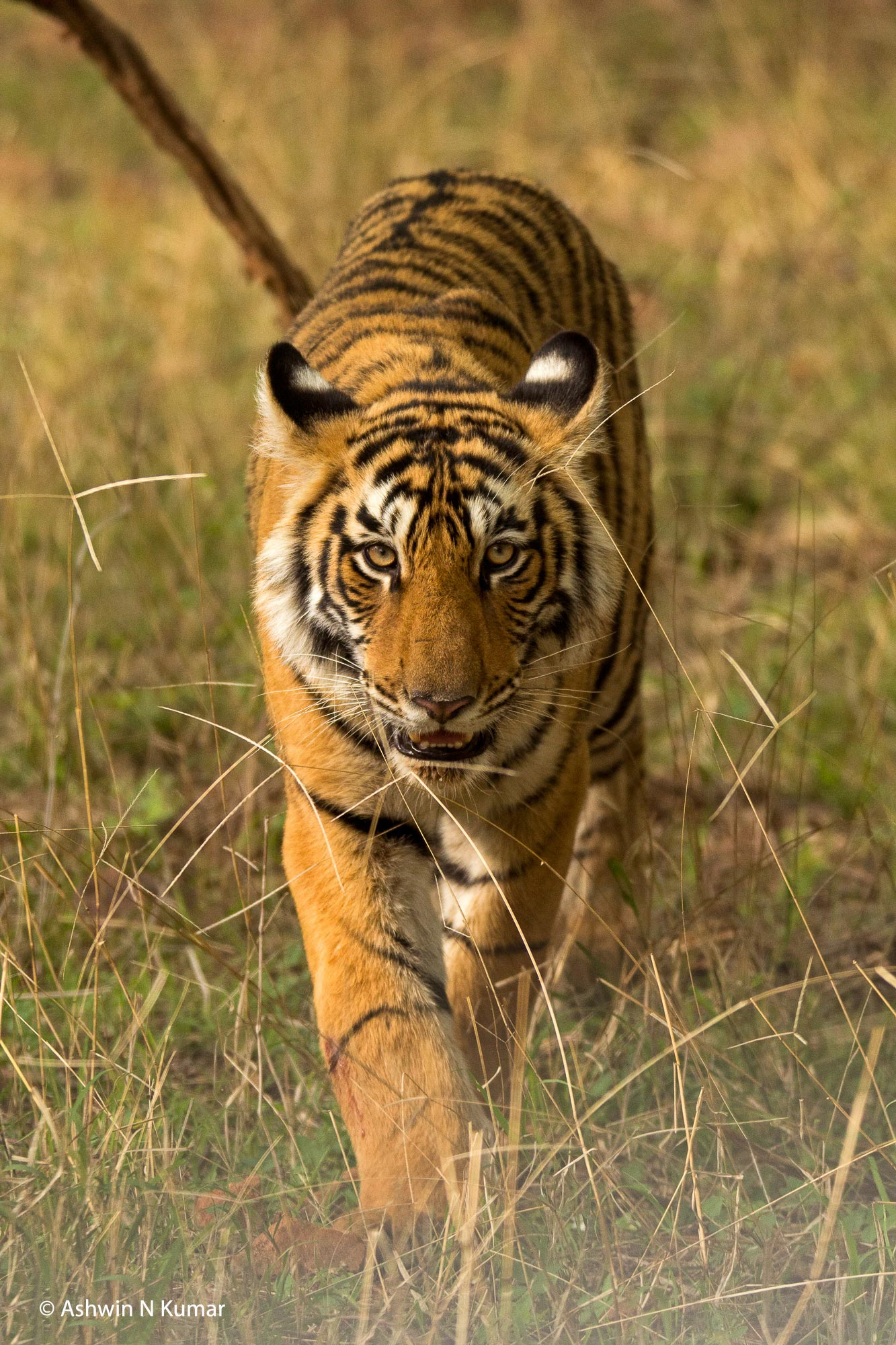 T19 Cub Walking Head-on