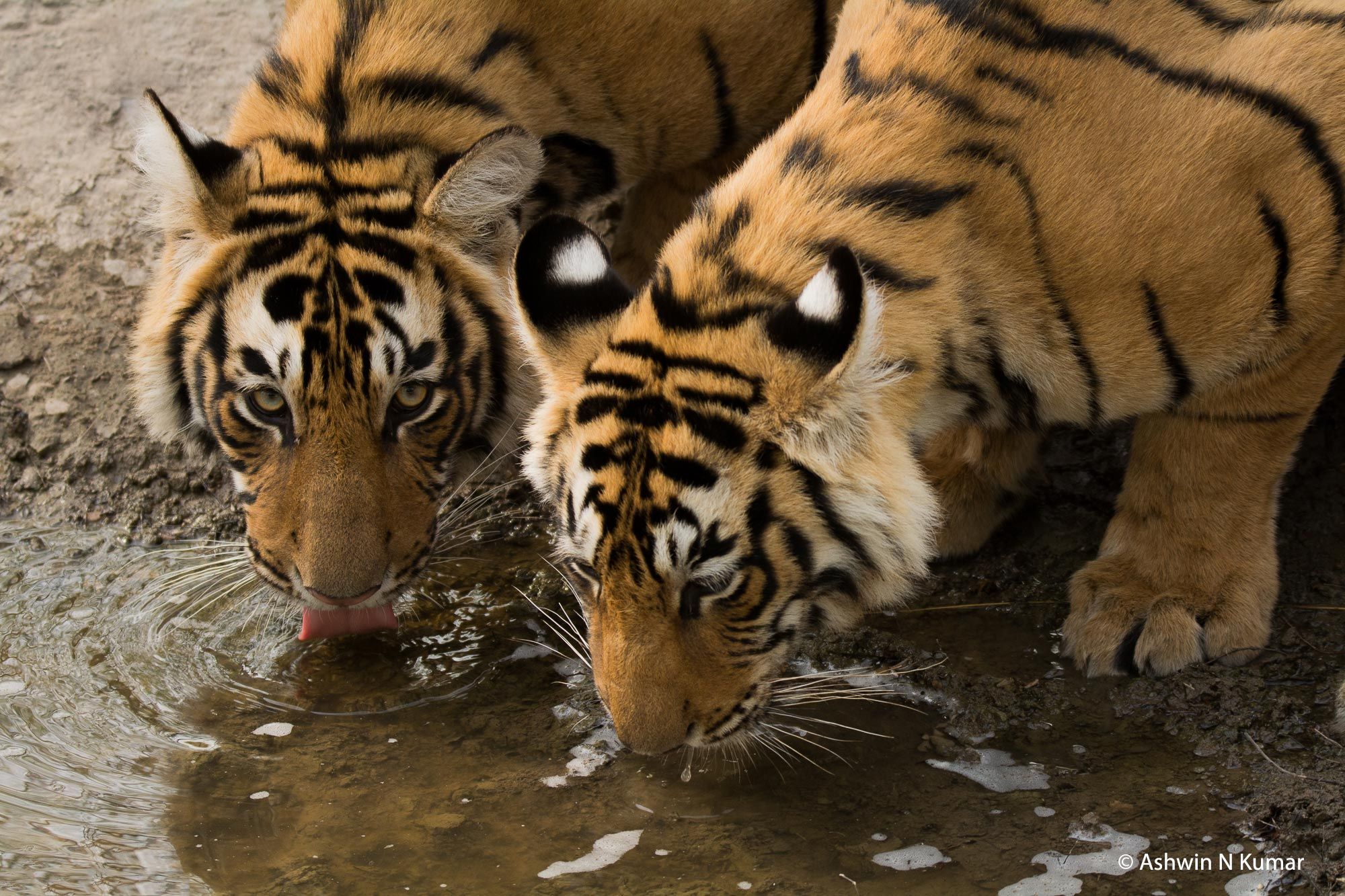 T19 Cubs Drinking