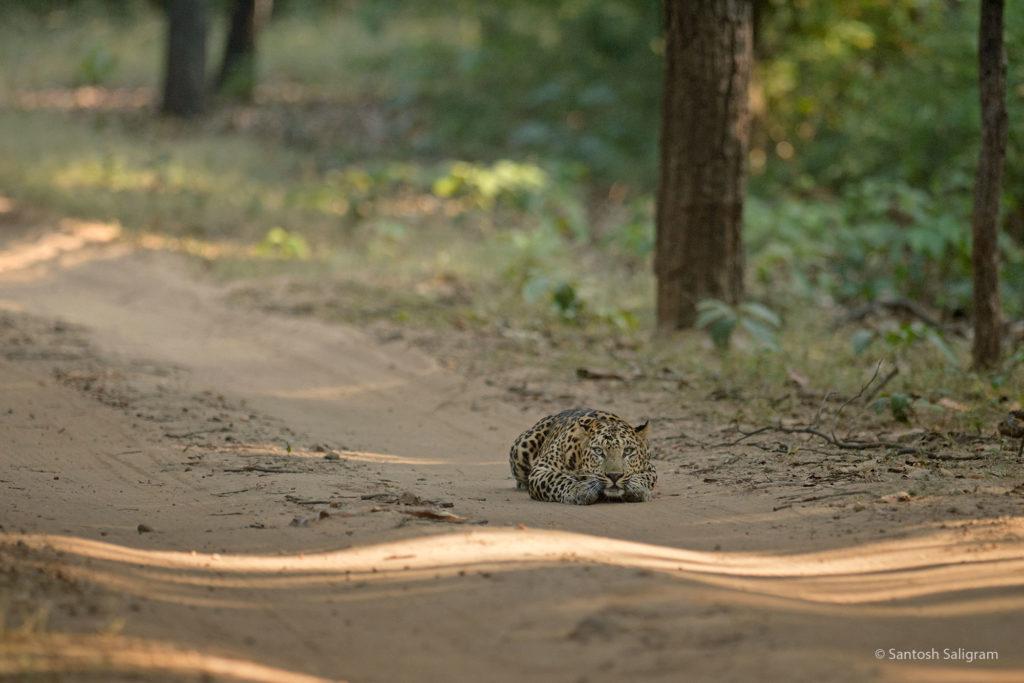 leopard santosh saligram 2021