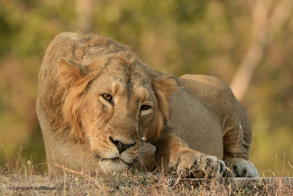 Lion, Gir