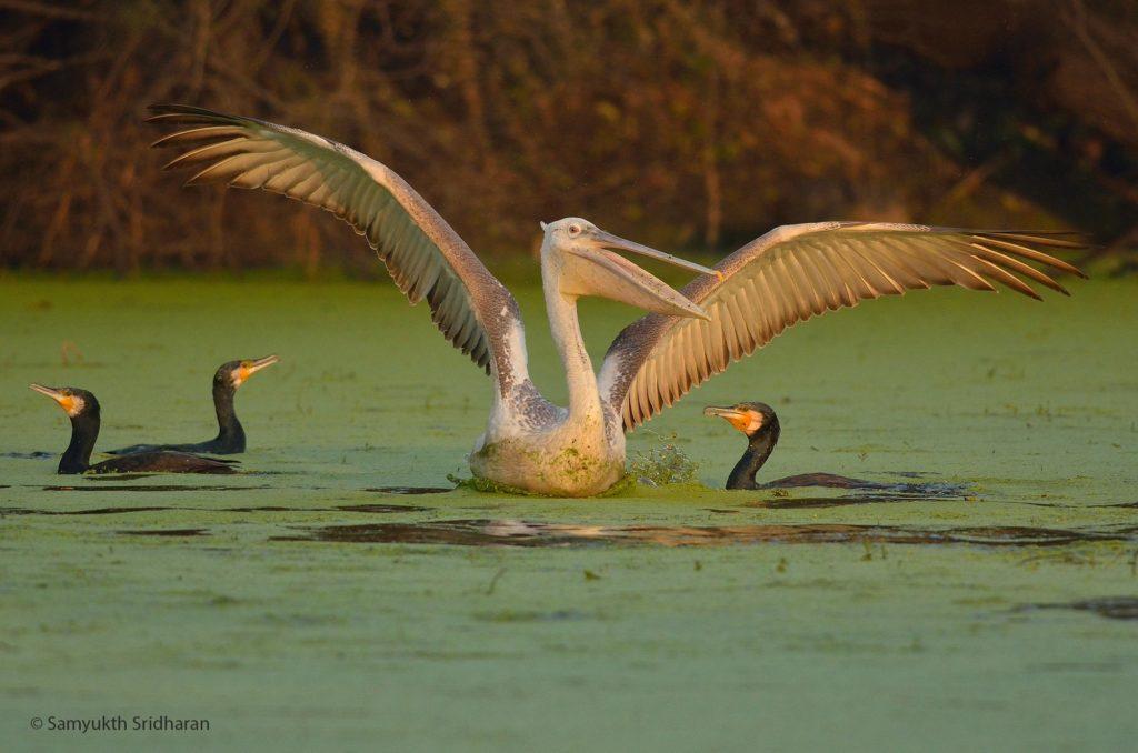 Pelican and Cormorants