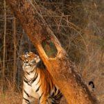 Banbehi Tigress, Bandhavgarh