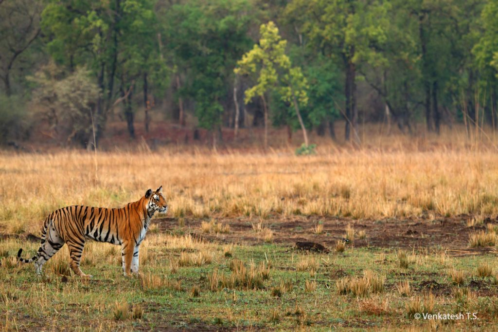 Kankati Tigress in Chakradhara Meadow, Bandhavgarh