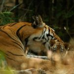 Kankati Tigress and Cub, Bandhavgarh