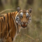 Pateeha Tigress Portrait, Bandhavgarh