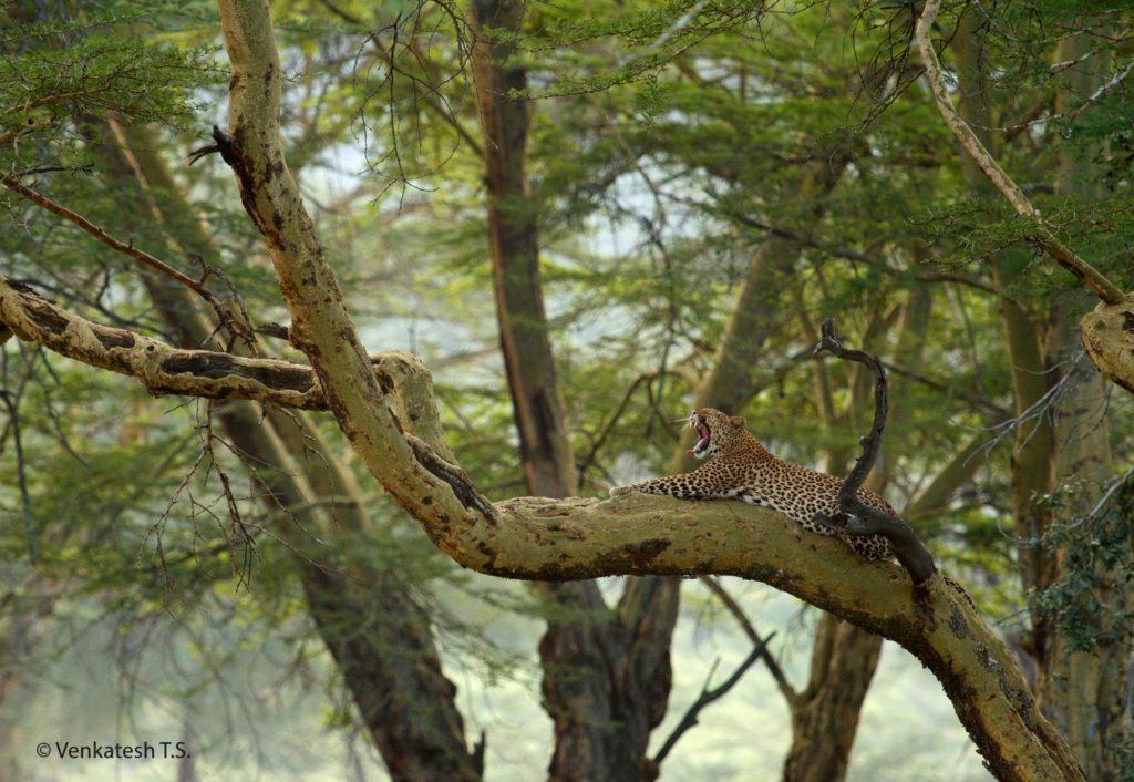 Leopard, Nakuru