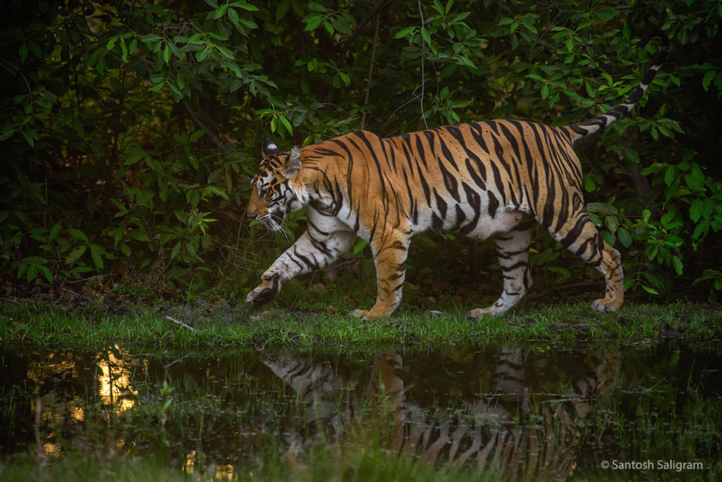 Banbehi Female, Bandhavgarh