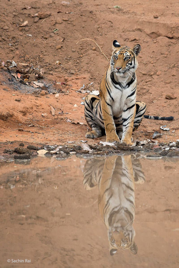 T, Bandhavgarh