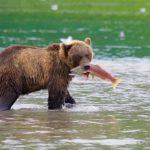 Brown Bear with Salmon, Kamchatka