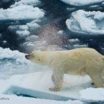 Polar Bear Shaking Off