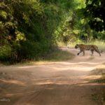 Tigress, Bandhavgarh