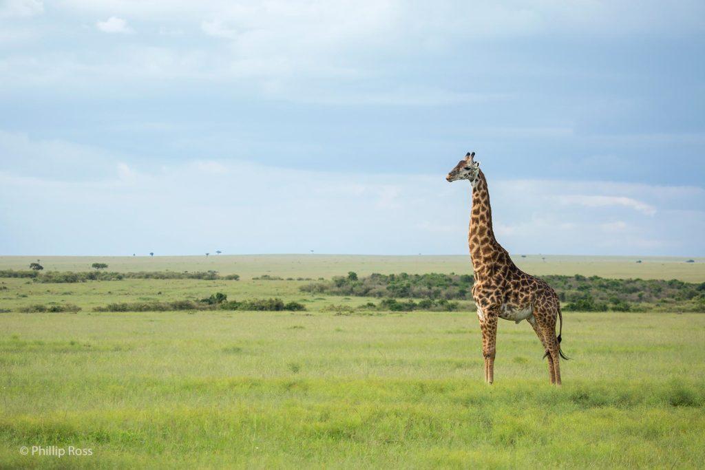 Giraffe, Masai Mara