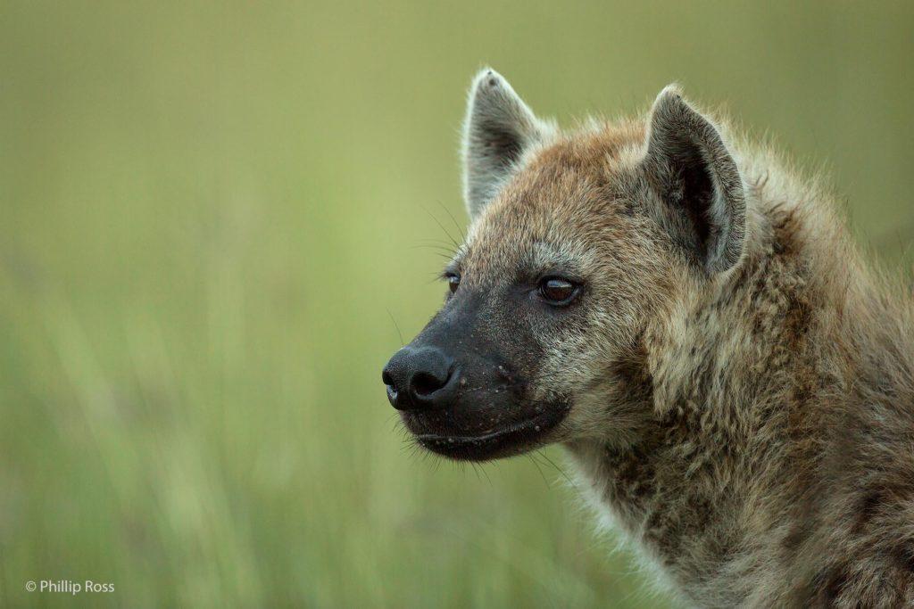 Spotted Hyena, Masai Mara