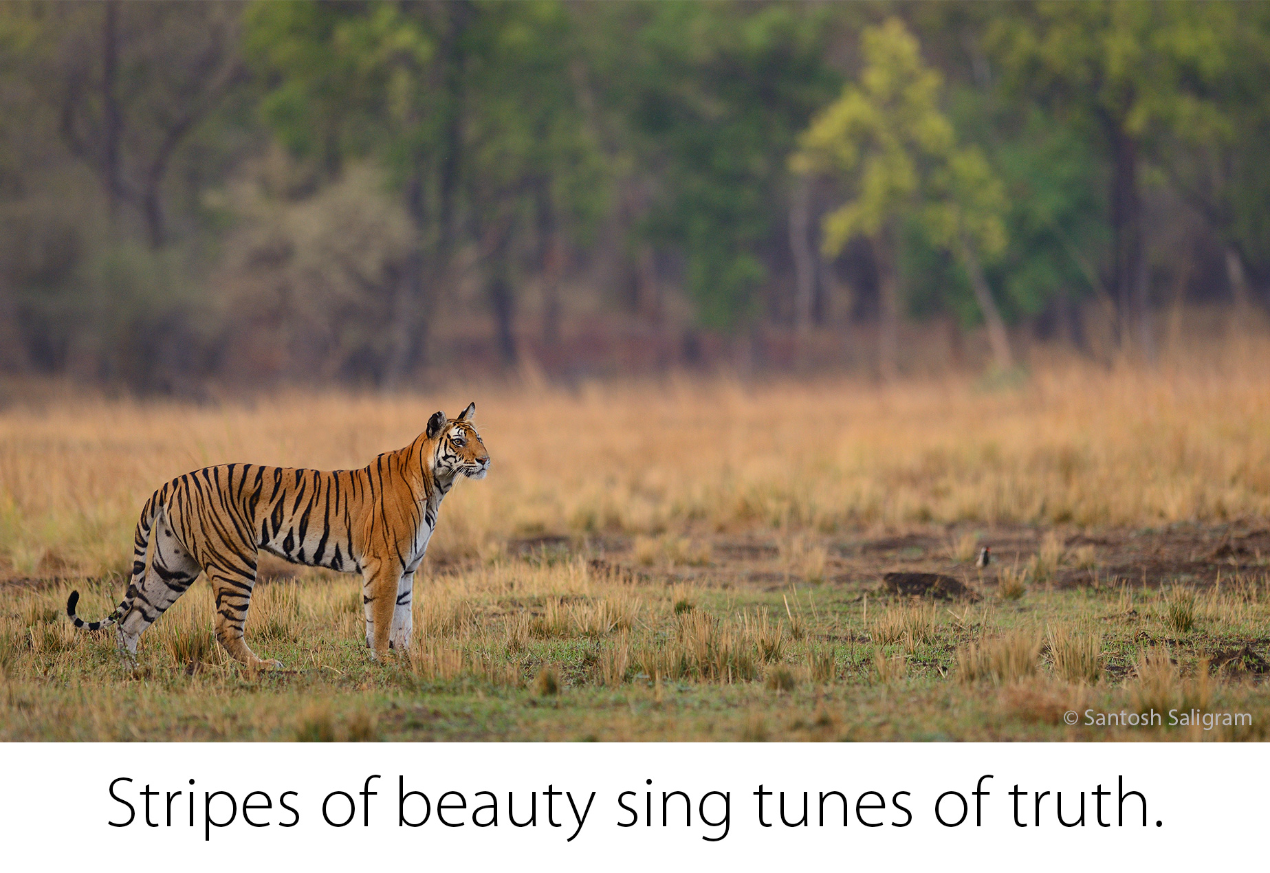Kankati Tigress, Bandhavgarh, © Santosh Saligram