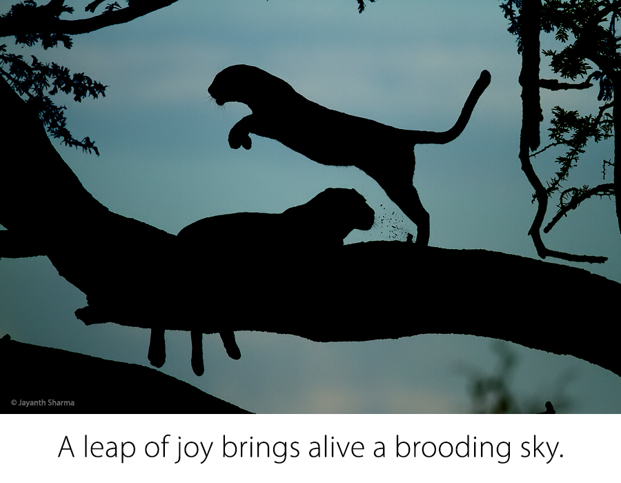 Leaping Leopard, © Jayanth Sharma