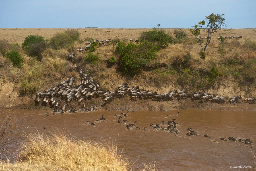 Wildebeest herd crossing Mara River, Jayanth Sharma