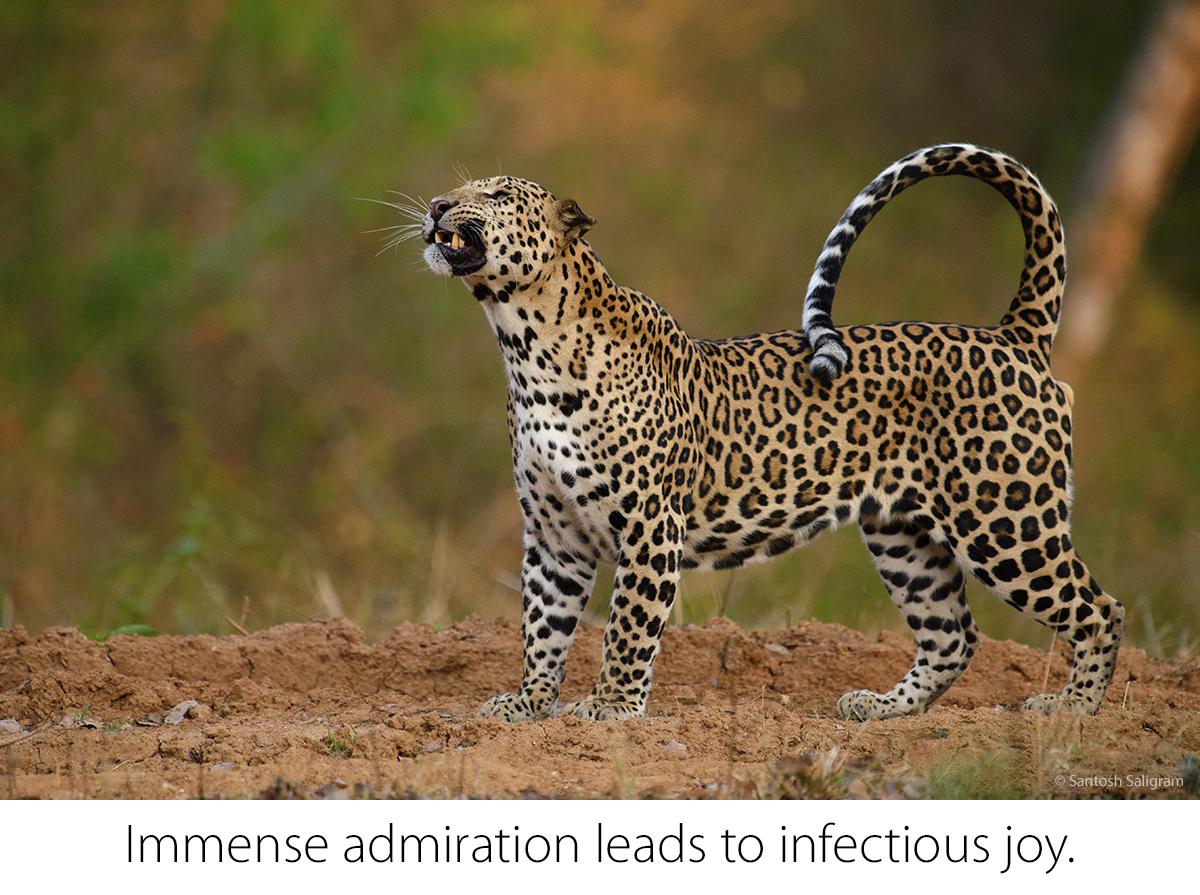 Leopard, Kabini