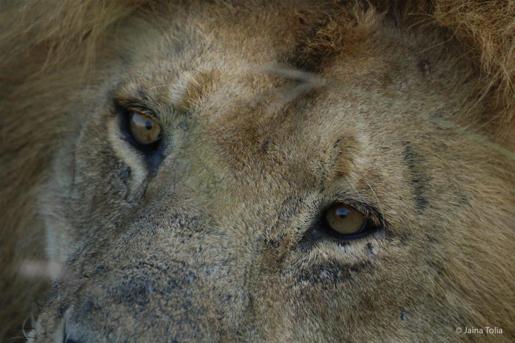 lion closeup jaina tolia 2021