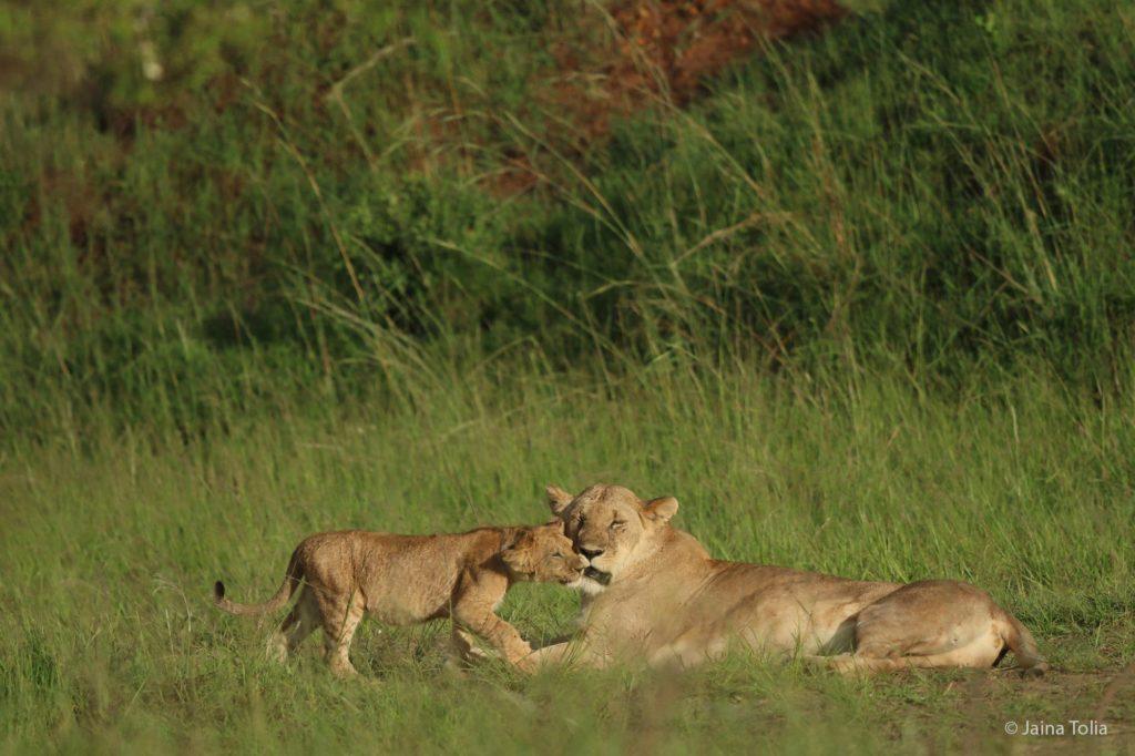 lioness and cub jaina tolia 2021