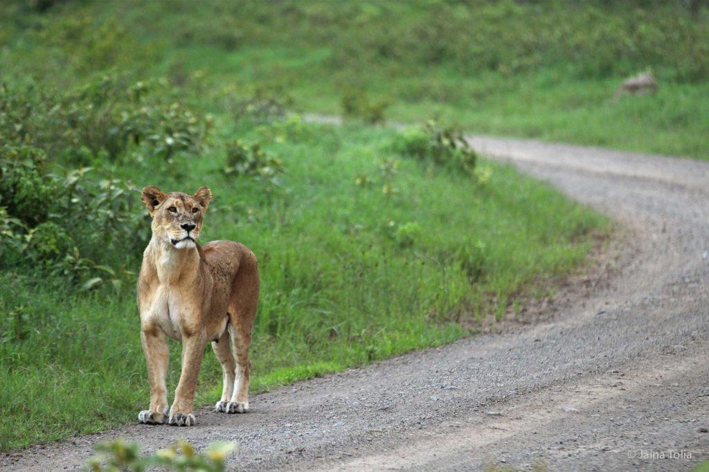lioness nakuru jaina tolia 2021