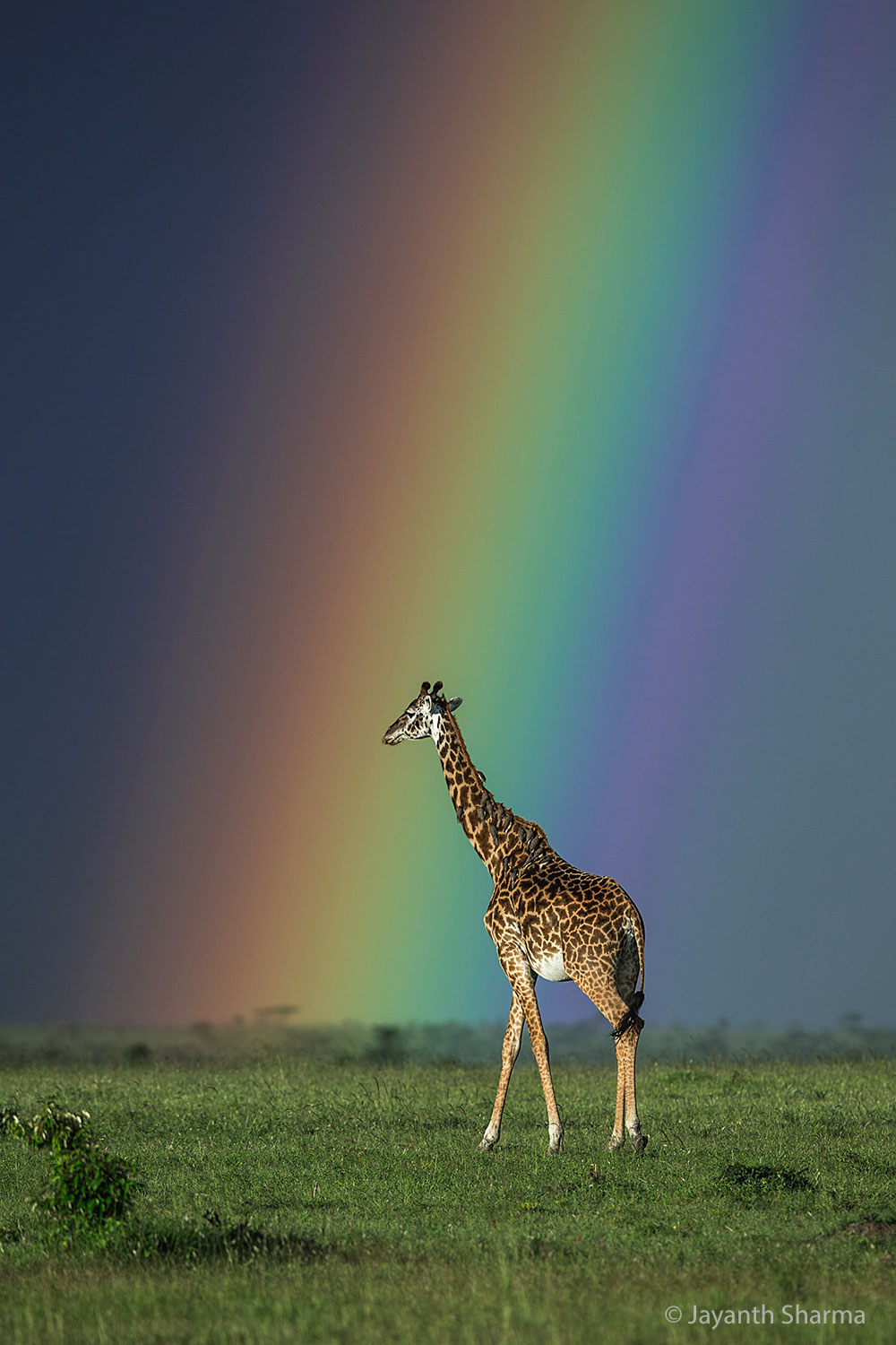 Giraffe and rainbow, Masai Mara. © Jayanth Sharma