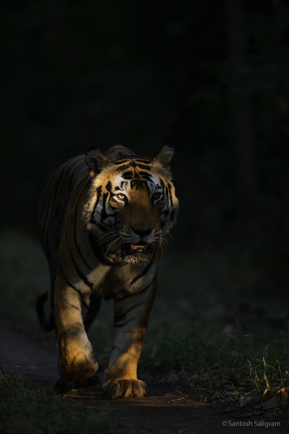 Male Tiger Munna in Kanha. © Santosh Saligram