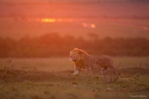 African Lion Backlit
