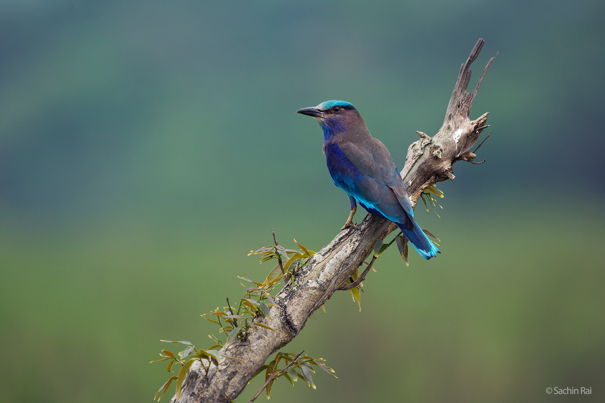 Indian roller in Kaziranga