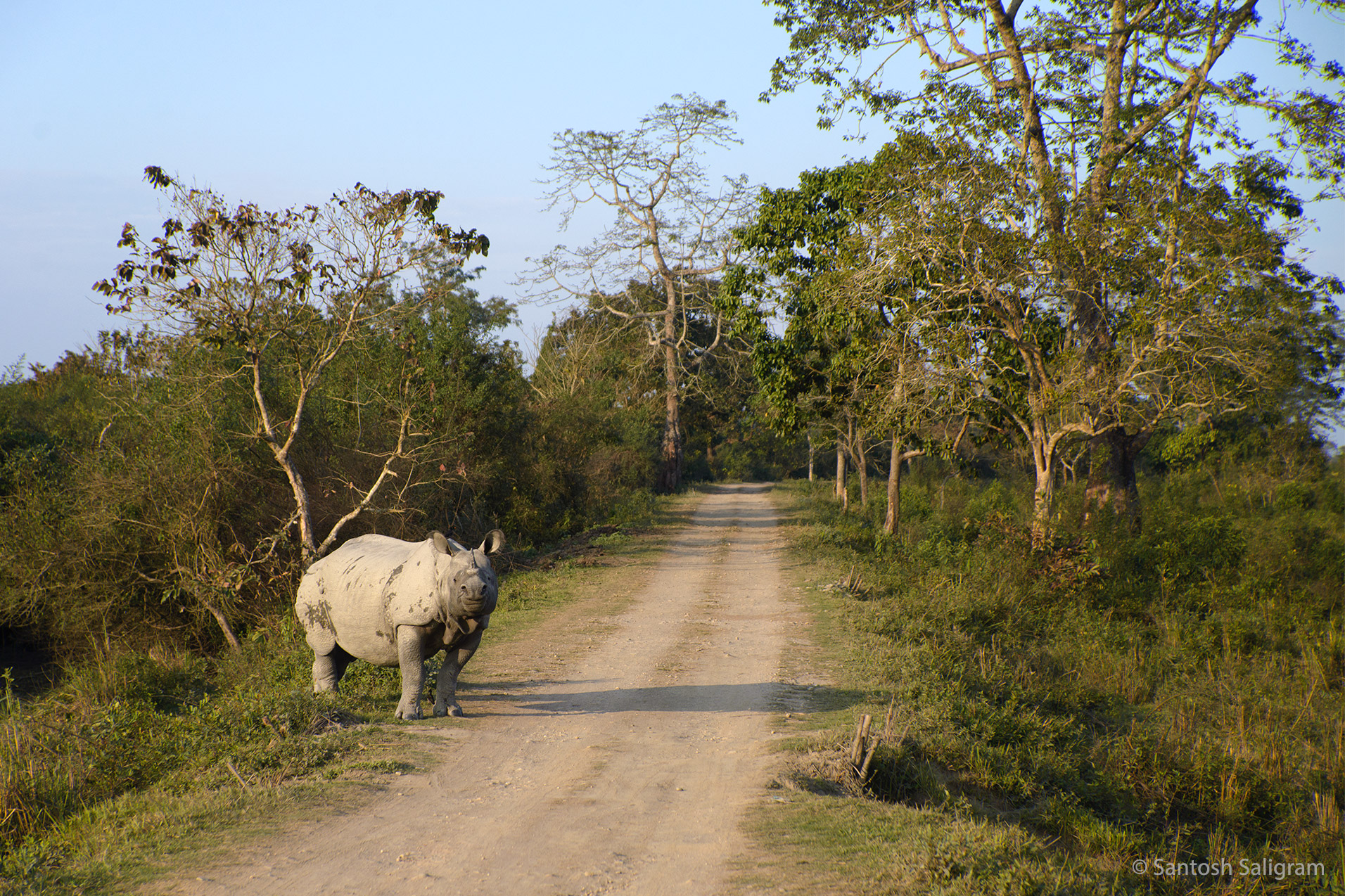 Indian One-horned Rhino, Kaziranga