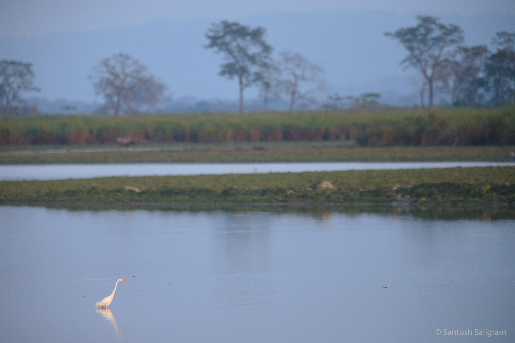 Egret in water, Kaziranga