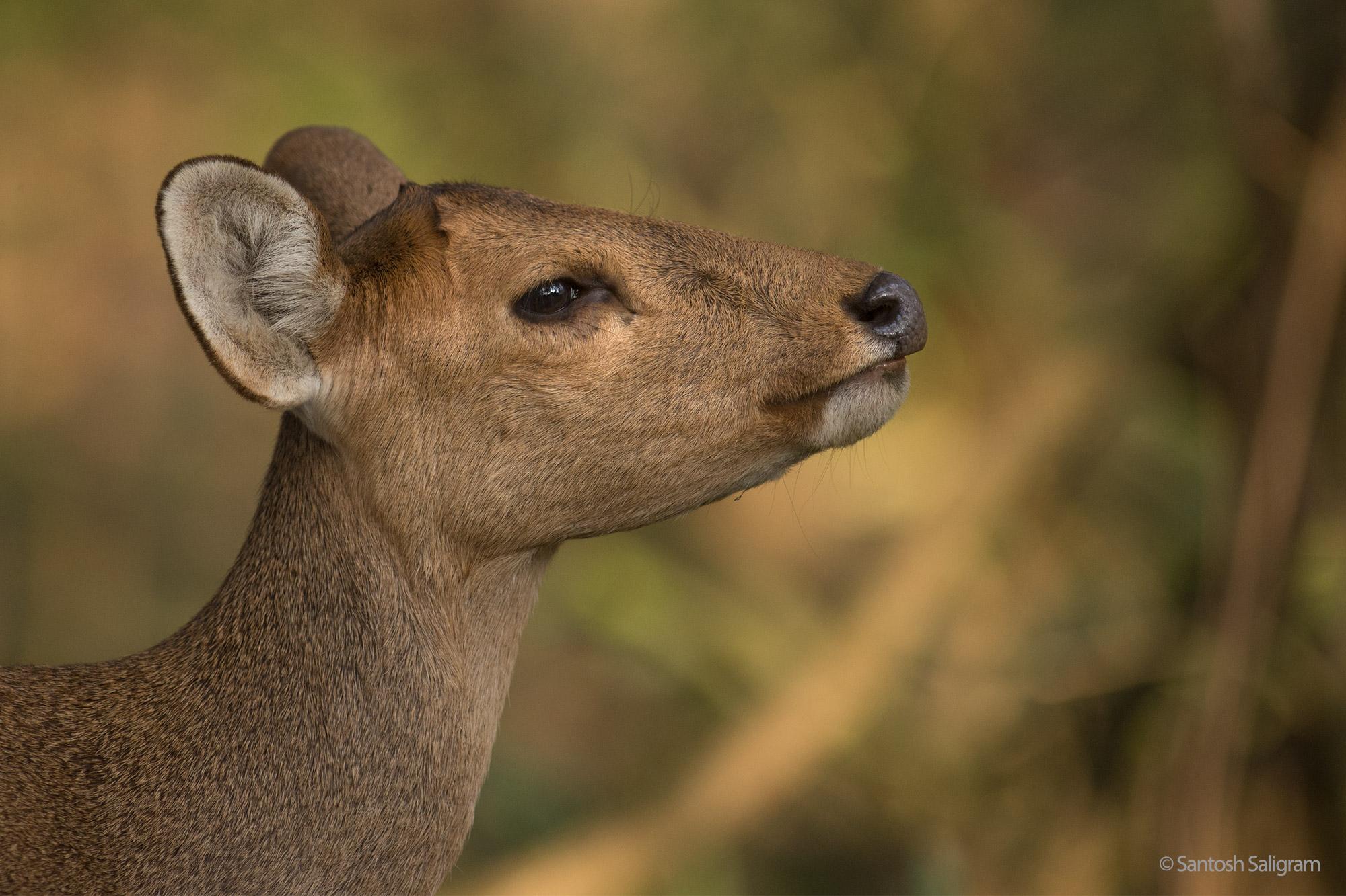 Hog deer, Kaziranga