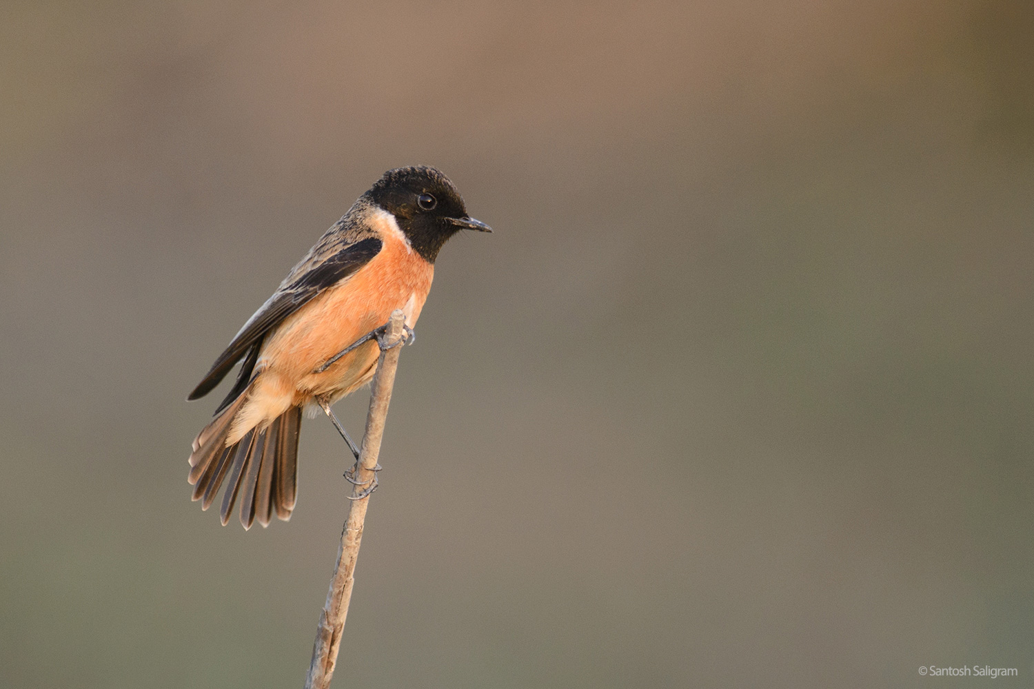 Common Stonechat, Kaziranga