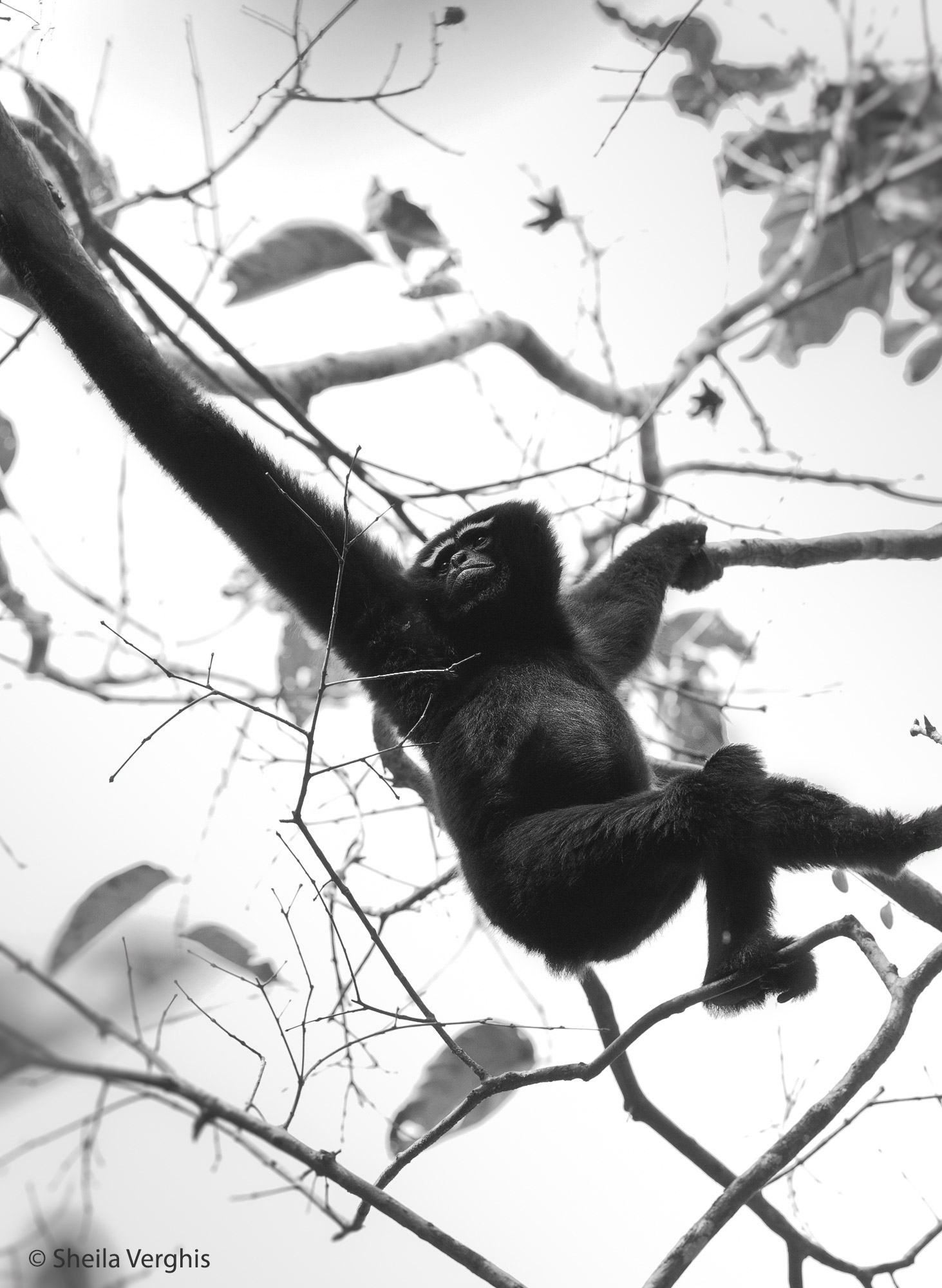 Hoolock Gibbon, Gibbon Sanctuary