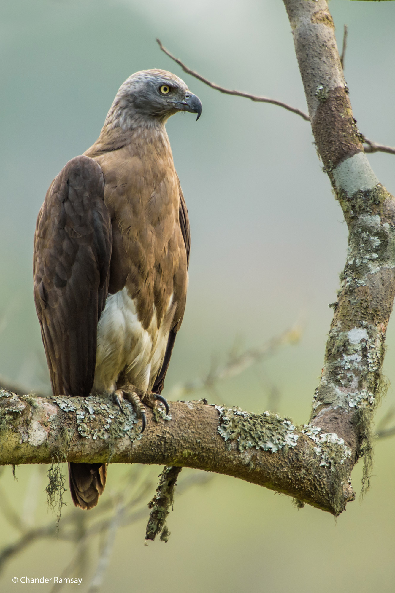 Grey-headed fish eagle, Kaziranga