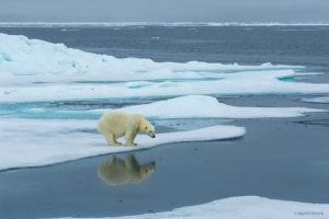 Polar Bear and Reflection, Svalbard