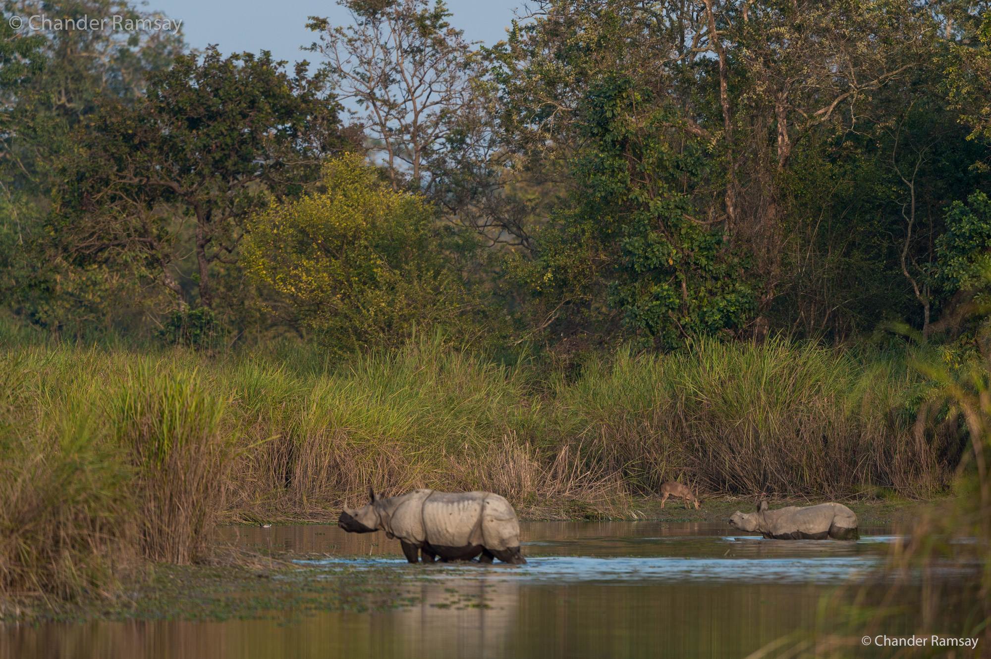 Rhinos Crossing Water