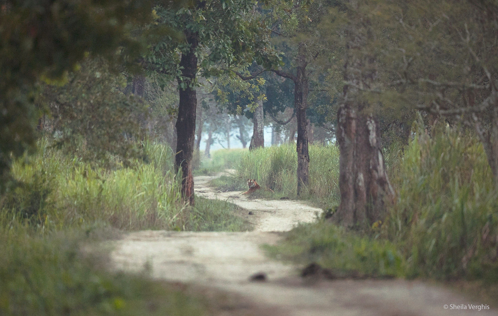 Tiger, Kaziranga