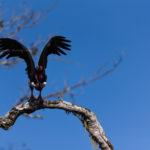 Red-headed Vulture, Kabini
