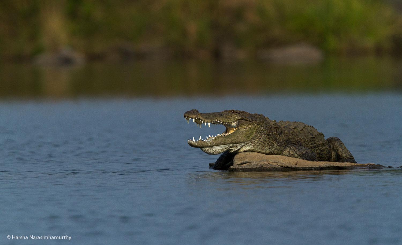 Wildlife Photography: Crocodile Basing in the Sun, Ranganathittu