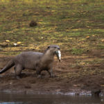 Smooth-coated Otter, Kabini