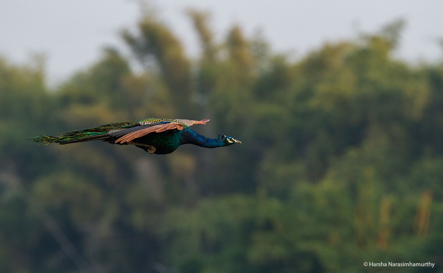 Wildlife Photography: Peacock in Flight, Ranganathittu