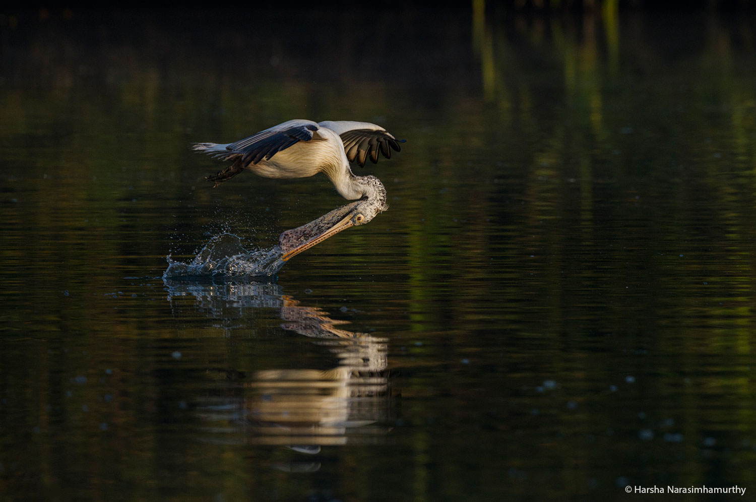 Wildlife Photography: Pelican in Action, Ranganathittu