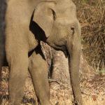 Elephant, Kabini