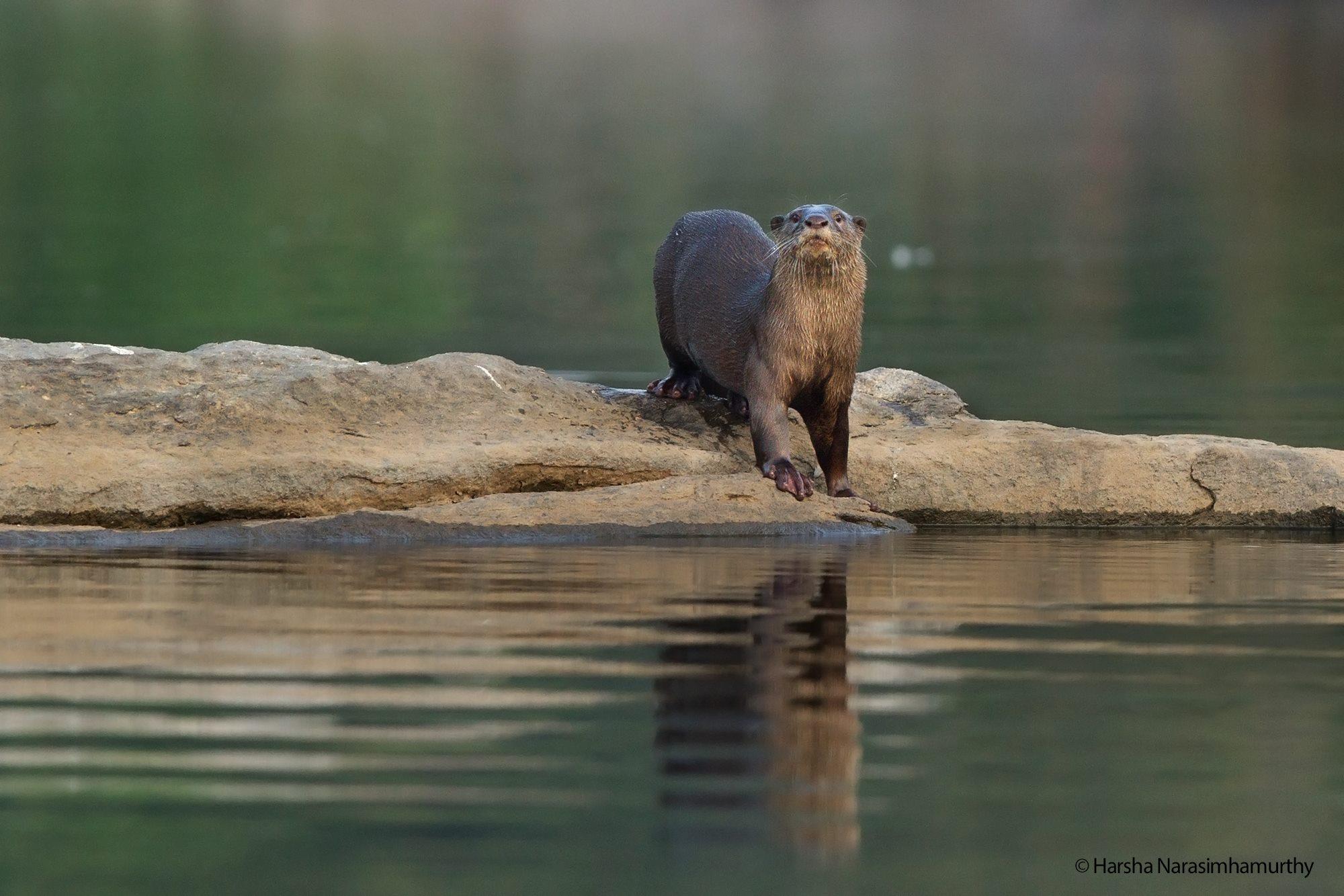 Wildlife Photography: Smooth-coated Otter, Ranganathittu