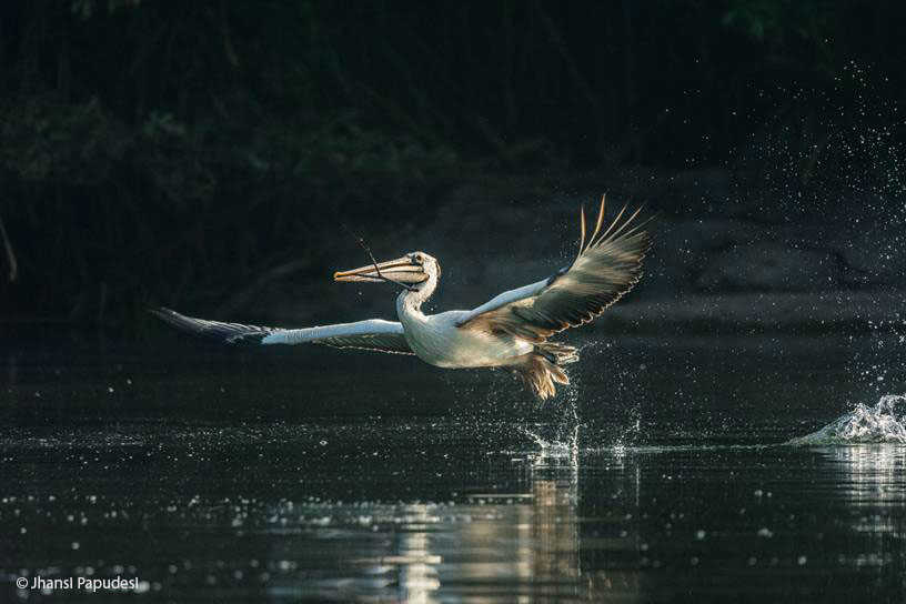 Wildlife Photography: Pelican in Flight, Ranganathittu